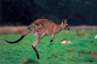 kangourou_01